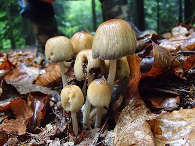 Las Bronaczowa, czernidłak sp.