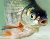 Uitsnede cover foto Het 'visperspectief' een onderwater kijk op vispassages : beknopte notitie uitgevoerde onderzoeken naar vispassages