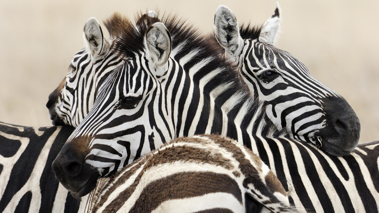 wallpaper with a group of zebras hd animals wallpapers. Black Bedroom Furniture Sets. Home Design Ideas