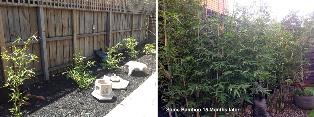 Growth progress of gracilis bamboo 15 months apart.