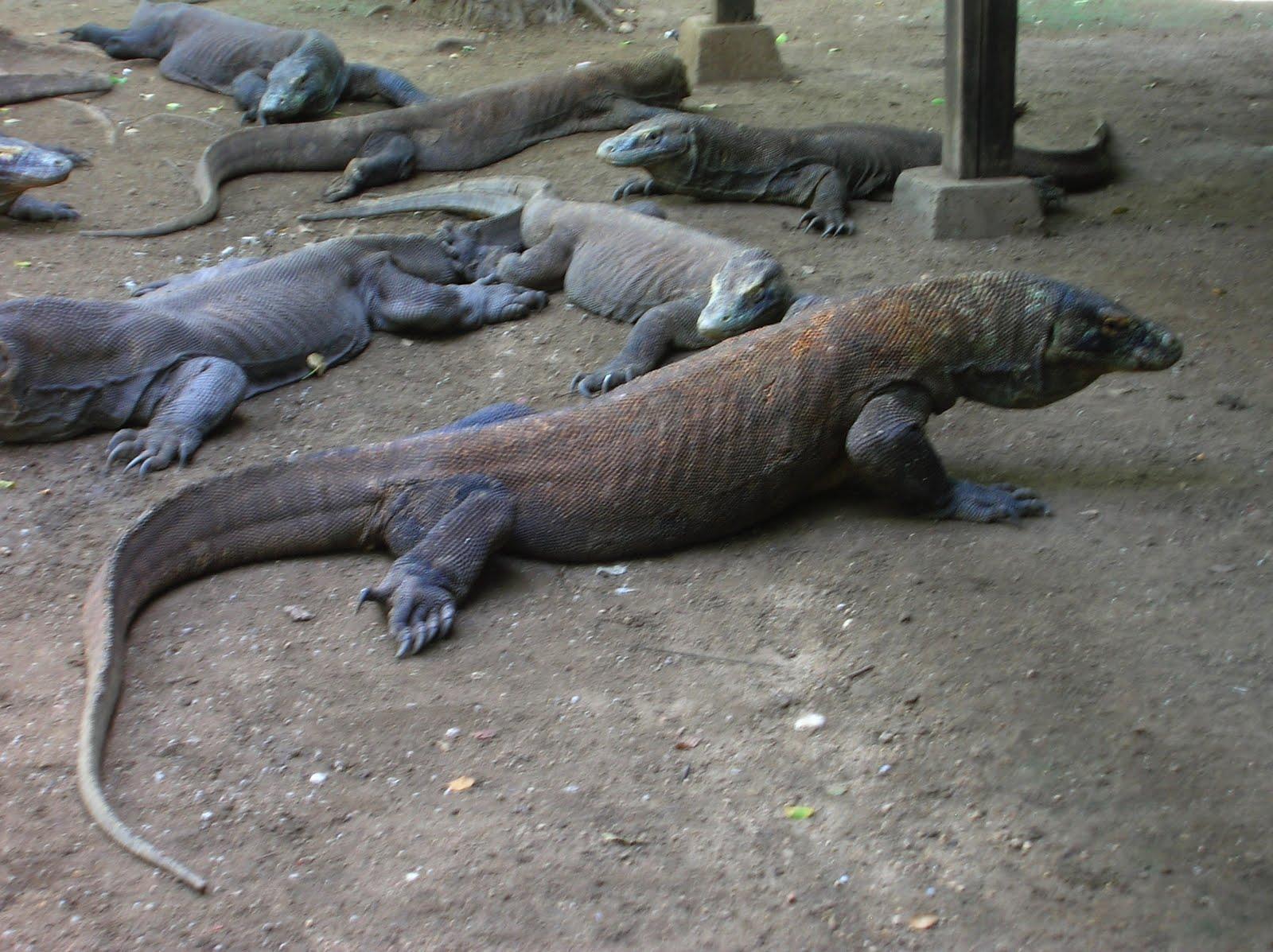 Dragones komodo, Parque Nacional de Komodo,Isla de Ricla, Isla de Flores, vuelta al mundo, round the world, La vuelta al mundo de Asun y Ricardo