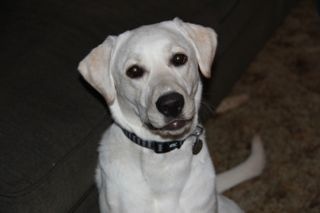 photo of Si-Si, the yellow lab