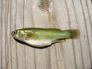 Actinopterygii_Cyprinodontiformes_Fundul