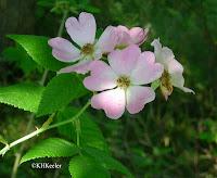 Rosa Rosaceae