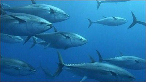 Kawanan Ikan Tuna