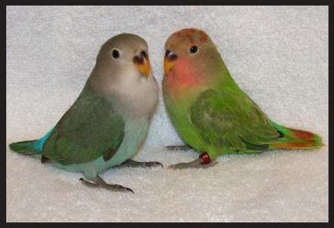 penjodohan lovebird