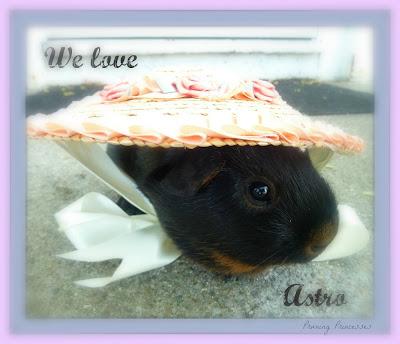 guinea pig in costume