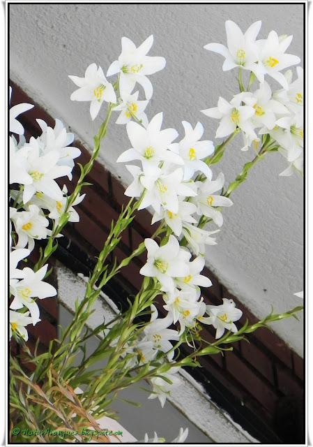 Naturaranjuez azucena lilium candidum for Azucena plantas jardin