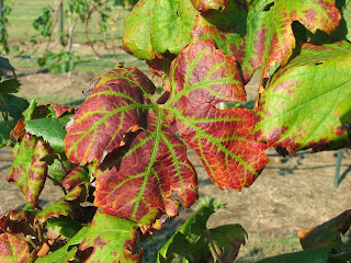 Fall symptoms of Leafroll virus infection