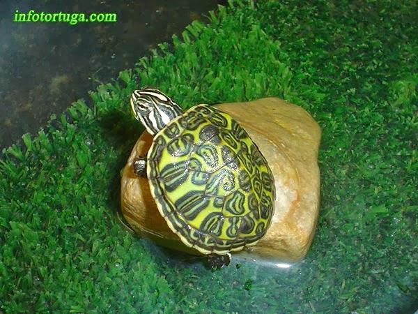 Tortuga de vientre rojo (Pseudemys nelsoni)