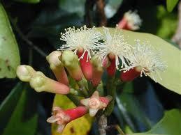 Budidaya, Tanaman, Cengkeh, cara menanam cengkeh