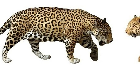 A Little Something About Animals: Jaguar or Leopard, whats ...