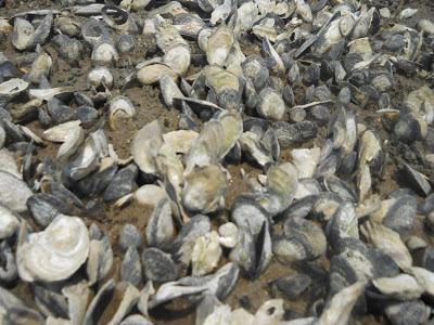 Wellfleet oyster restoration