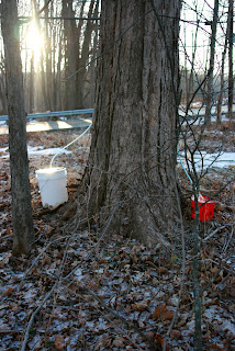 maple sugaring buckets in trees