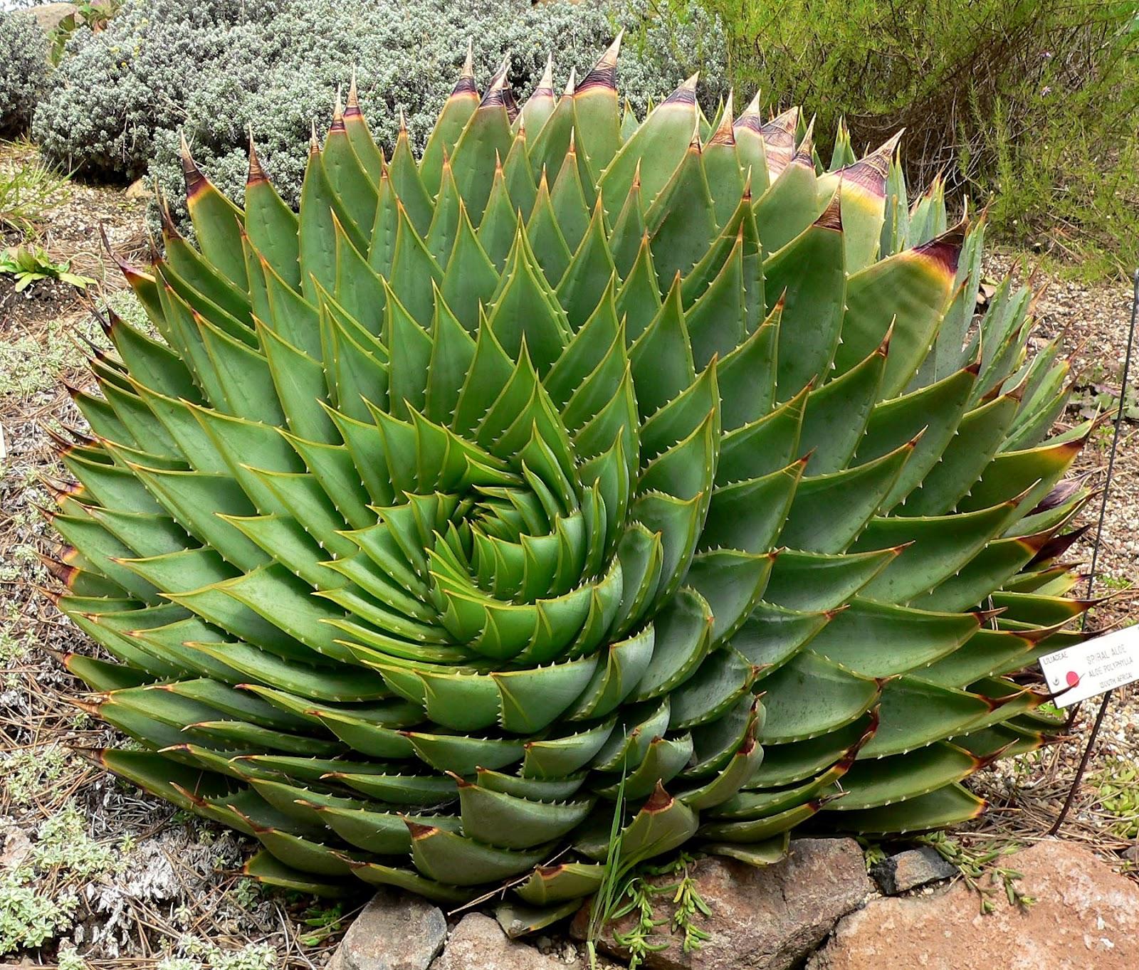 [Image: Aloe_polyphylla_1.jpg]