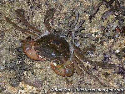 Paddler Crab (Varuna litterata or Varuna yui)