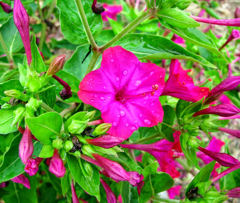 Image result for bunga pukul empat