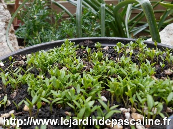 Le jardin de pascaline comm rages sur le jardin - Comment semer du persil ...