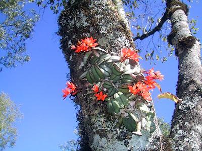 http://4.bp.blogspot.com/-O7Qq-XJoX5g/TZNGKWoxwdI/AAAAAAAAAJ4/NjkhuMoObrY/s1600/Sophronitis+cernua+y+abajo+Isabelia+virginalis.JPG
