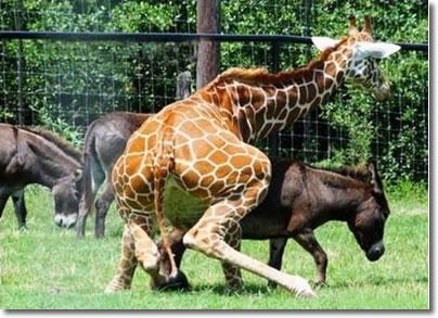 perro que le hace el amor a un pato y ahora una jirafa a una burra
