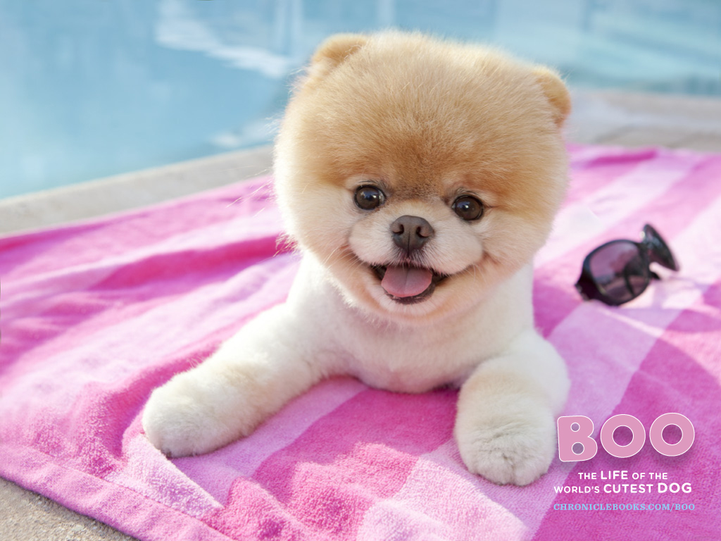 http://4.bp.blogspot.com/-O7TSZU3v3ys/TnL2x5C8oEI/AAAAAAAAHIw/CsjGDnwvBV0/s1600/Boo-The-Worlds-Cutest-Dog-Wallpaper.jpg