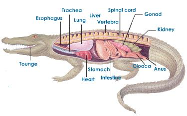 respiration system of animal What is a respiratory system how does it work what are the functions of  respiratory systems what are the different respiratory strategies that animals use.