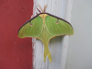 pretty green moth