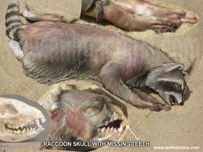 montauk monster, new york, mystery monster, thing that drifted ashore, dead raccoon, corpse, raccoon