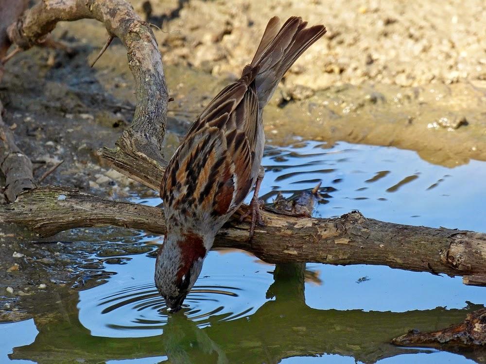 Resultado de imagen para ave bebiendo agua