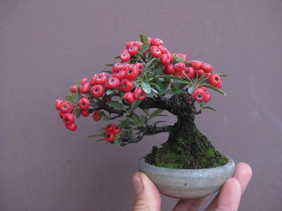 bonsai pohon buah yang unik dan menarik fakta info
