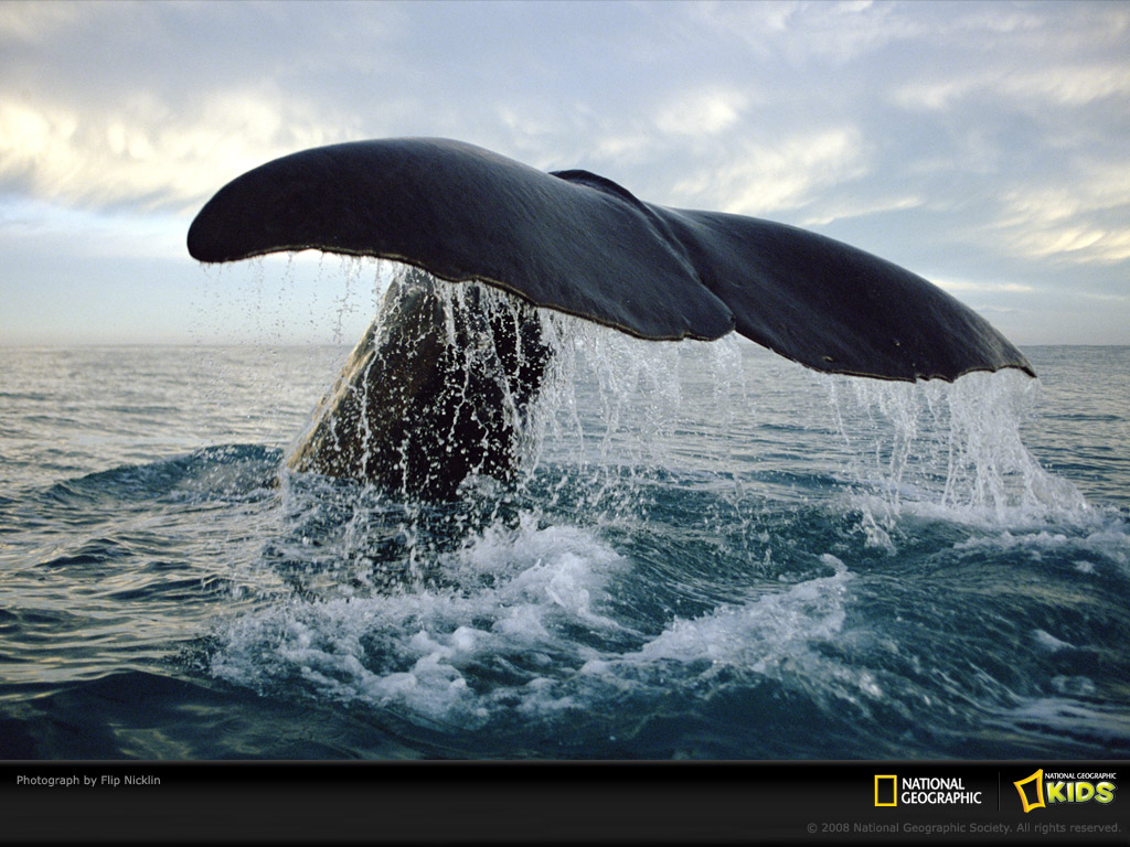 National Geographic Wallpaper Whales Baby Miranda on...