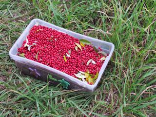 gallon of autumn olive berries