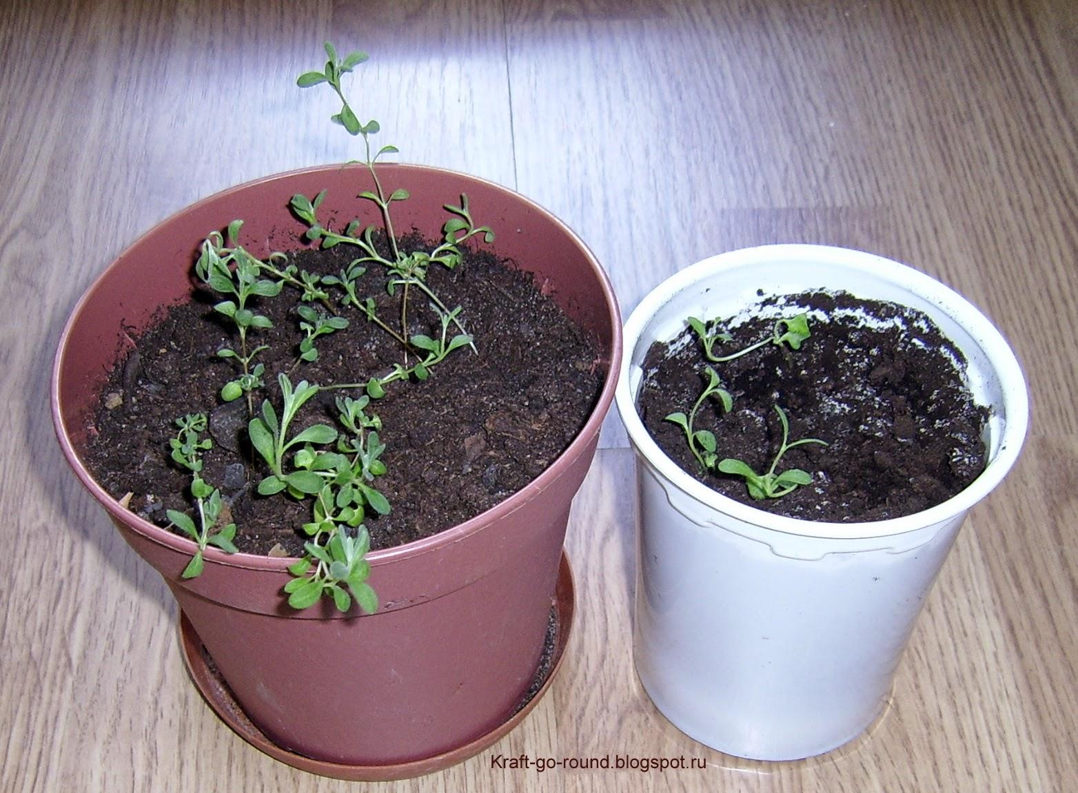 Лаванда посадка и уход, выращивание из семян 100
