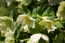 Lenten Rose / Helleborus