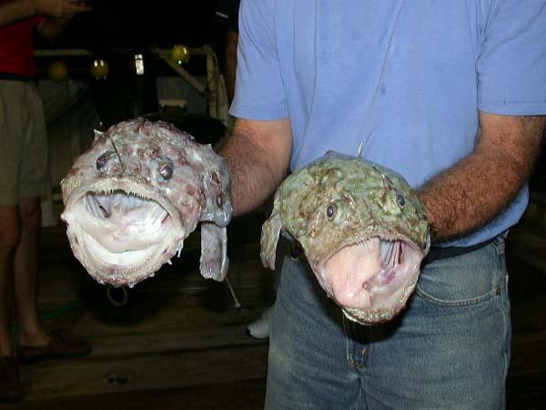 Life of anglerfish life of sea for Angler fish for sale