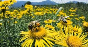 ong lấy mật