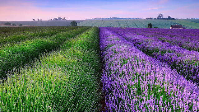 England summer lavender fields house dusk HD Wallpaper