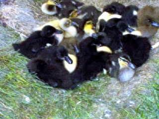 Iowa state Fair Highlights & Trivia - Ducklings at the Knapp Learning Center by Easy Life Meal & Party Planning