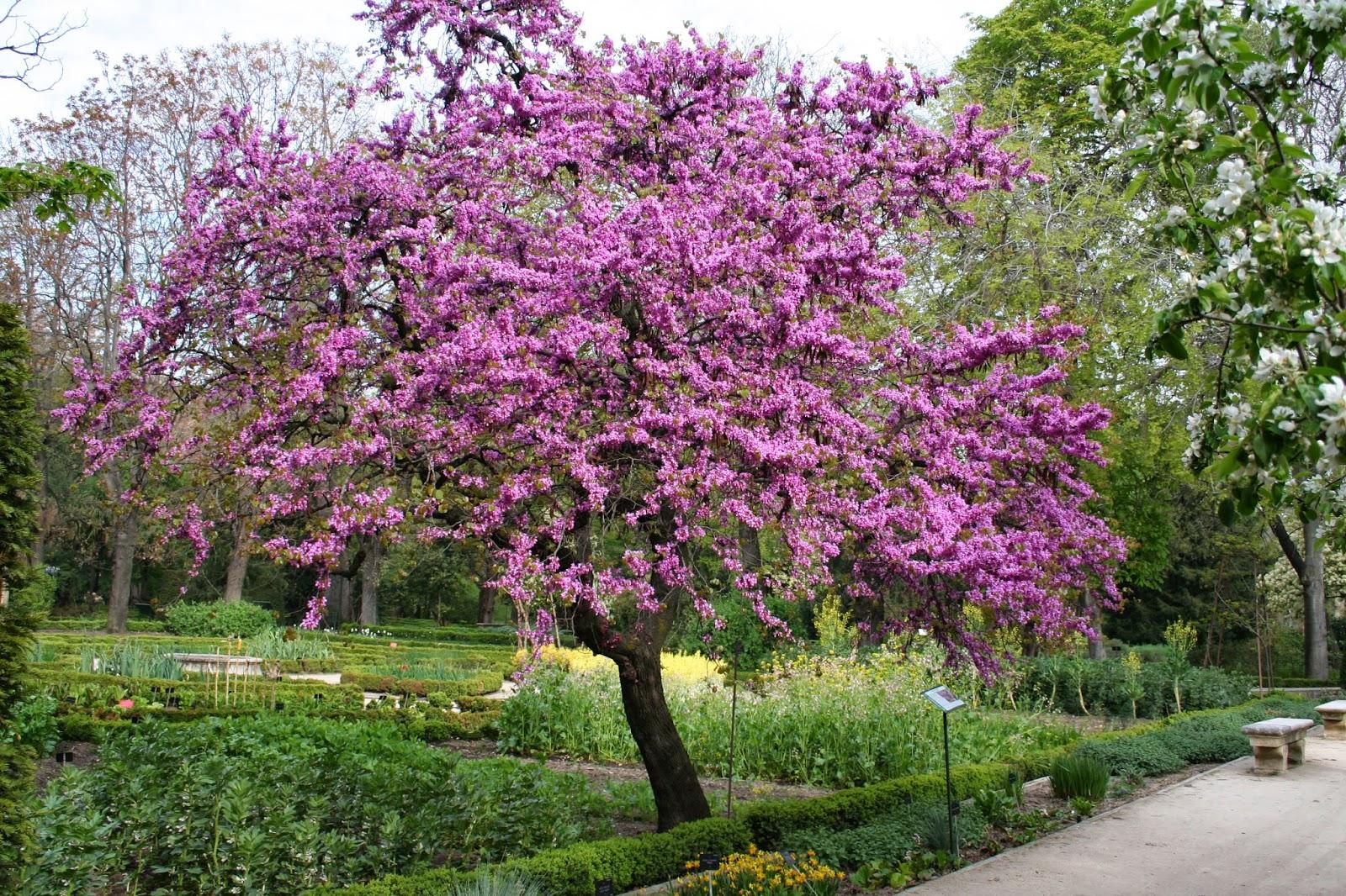 Arte y jardiner a rbol del amor cercis siliquastrum for Arboles ornamentales para jardin