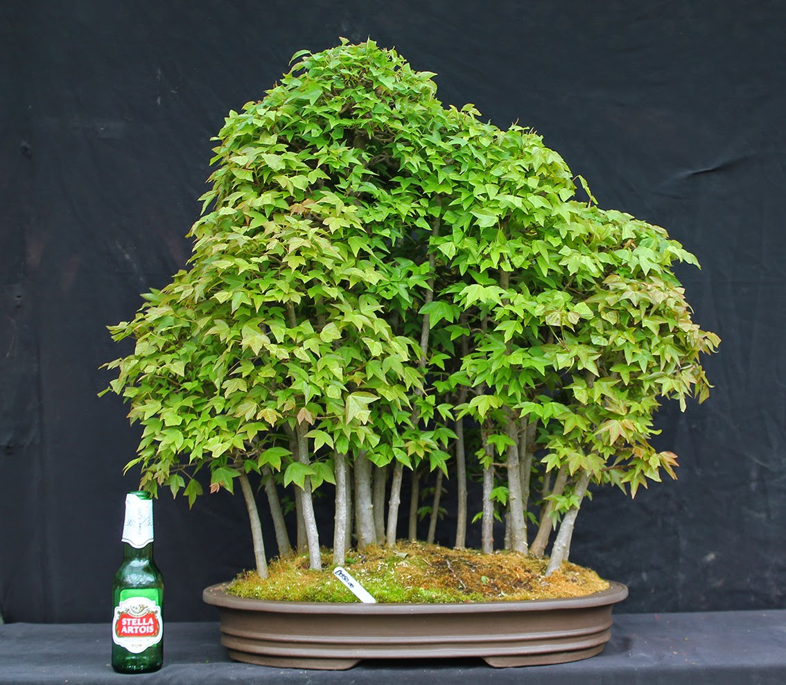 Little Cornish Trees Cornish Bonsai Exhibition 17th 18th May