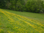 Buttercup and thistle heaven!
