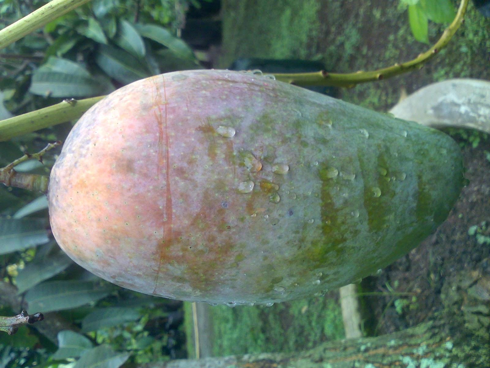 Bibit Tanaman Buah Unggul Tamora Unggul Nursery Mangga