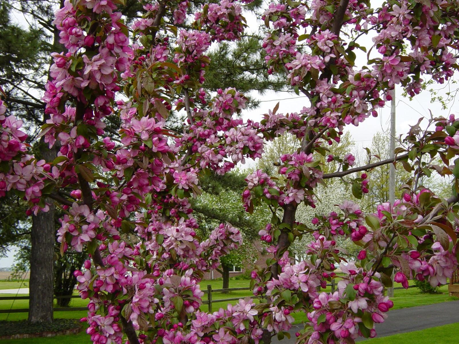 Shejunks Flowering Trees