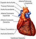 Partes del corazon