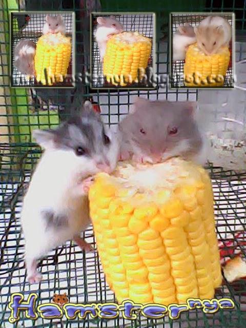Jenis Hamster Segitu Petshop