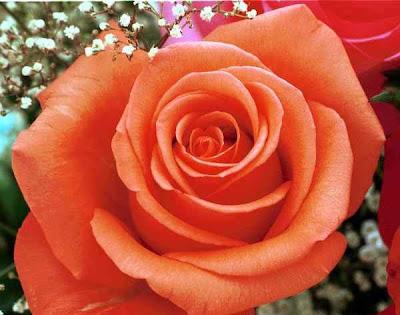 bunga mawar peach