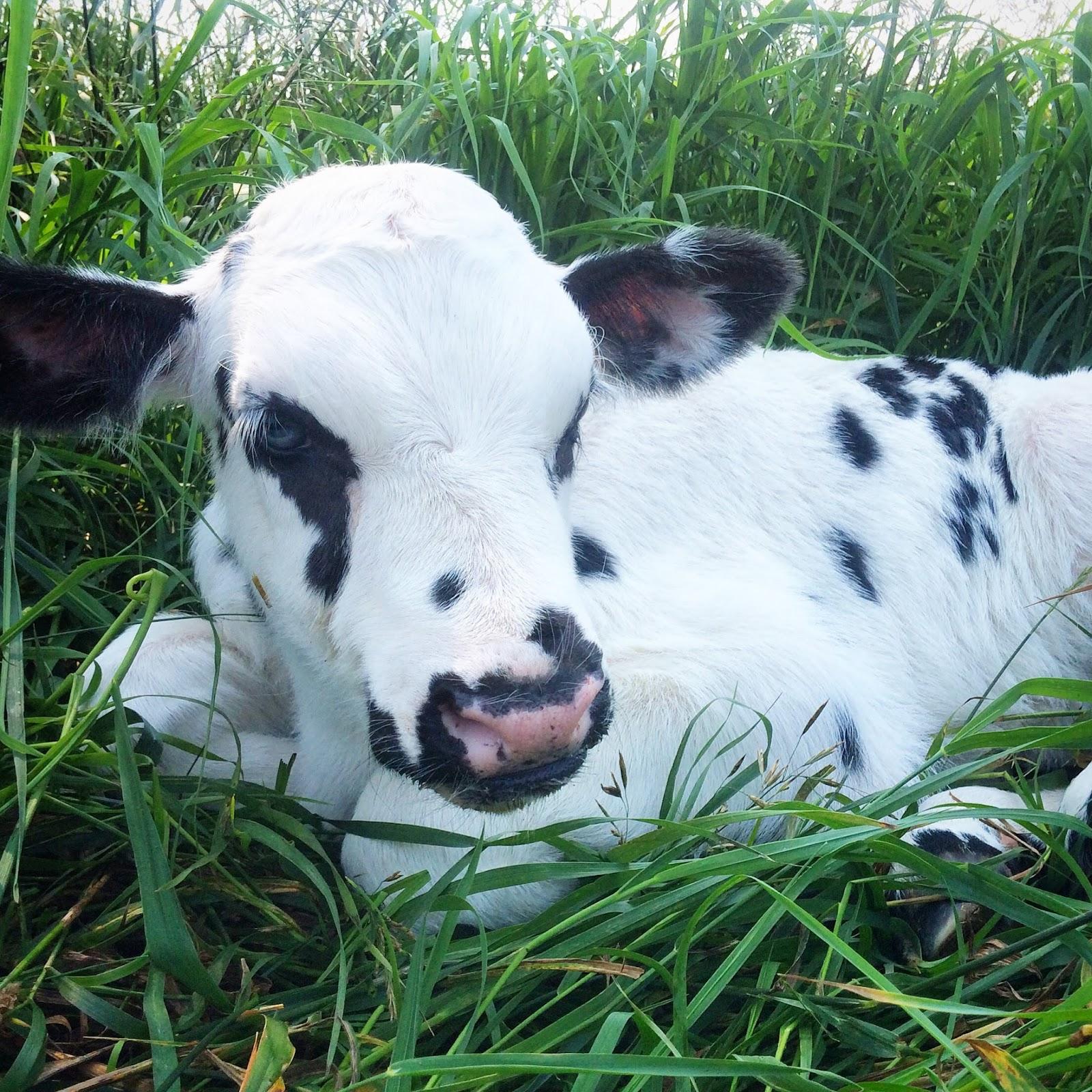 newborn black and white heifer calf in grass