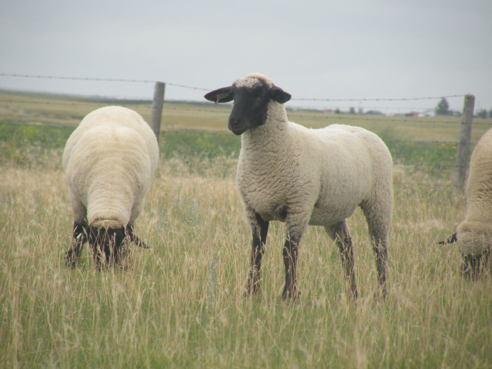 4  quot dollyquot  the sheep was the