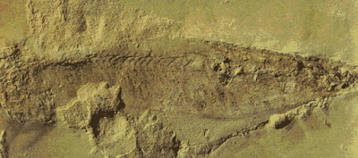cambrian fishes