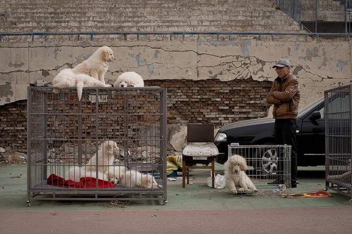 Beijing where Tibetan mastiffs, a much sought after status symbol, are bought and sold for up to £500,000